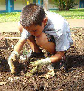 taro kalo harvest school garden 335